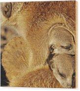 Two Meerkat Pups Sleep Under The Arm Wood Print