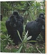 Two Mother Gorillas Carrying Wood Print