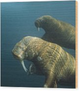Two Pacific Walruses Swim Together Wood Print