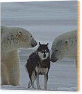 Two Polar Bears Ursus Maritimus Sniff Wood Print by Norbert Rosing