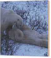 Two Polar Bears Wrestle In The Snow Wood Print