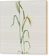 Two-row Barley (hordeum Distichum) Wood Print