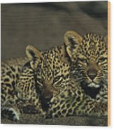 Two Sleepy Four-month-old Leopard Cubs Wood Print