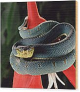 Two-striped Forest Pit Viper Bothrops Wood Print