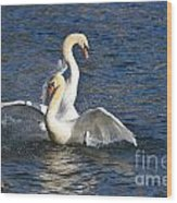 Two Swans Playing Wood Print