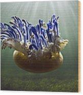Upside-down Jellyfish Cassiopea Sp Wood Print