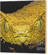 Usambara Eyelash Bush Viper Wood Print