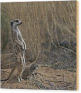 Using Its Tail, An Adult Meerkat Wood Print