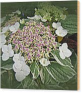 Variegated Lace Cap Hydrangea - Pink And White Wood Print