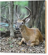 Velvet Buck At Rest  Wood Print