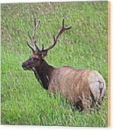 Velvet Bull Elk Wood Print