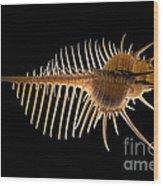Venus Comb Murex Shell Wood Print