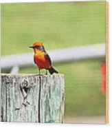 Vermilion Flycatcher Wood Print