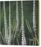 Veronicastrum 'spring Dew' Wood Print