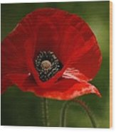 Vibrant Red Oriental Poppy Wildflower Wood Print