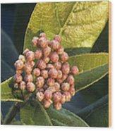 Viburnum Tinus Flower Buds Wood Print