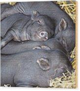 Vietnamese Pot-bellied Piglets Wood Print