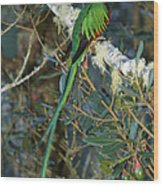 View Of A Male Resplendent Quetzal Wood Print