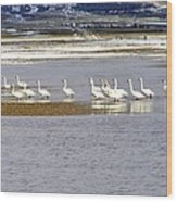 Wading Swans Wood Print