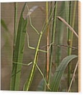 Walking Stick Insect Wood Print by Ted Kinsman