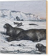 Walruses On Ice Field Wood Print