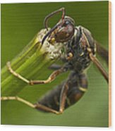 Wasp Eating Wood Print by Dean Bennett