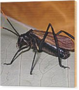 Wasp Mimic Bush Cricket Wood Print
