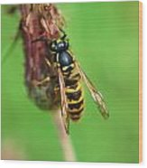Wasp On Plant Wood Print