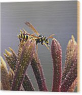 Waspage In The Kangaroo Paw Wood Print
