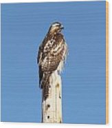 Watchful Hawk Wood Print