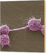 Water Biofilm With H. Vermiformis Cysts Wood Print by Science Source