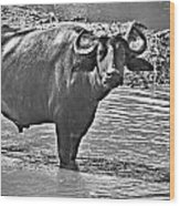 Water Buffalo In Black And White Wood Print