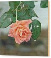 Water Dripping From A Peach Rose After Rain Wood Print