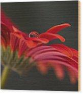 Water Drop On A Red Gerbera Flower Wood Print