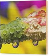 Water Drops On A Budding Flower Wood Print