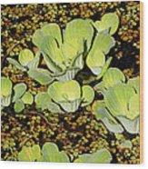 Water Lettuce Wood Print