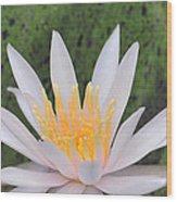 water lily 85 Arc-en-ciel Wood Print