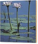 Water Lily Flowers Bloom From A Wetland Wood Print