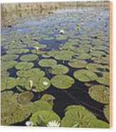 Water Lily Nymphaea Sp Flowering Wood Print by Matthias Breiter