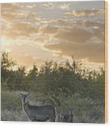 Waterbuck Kobus Ellipsiprymnus Mother Wood Print