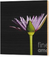 Waterlily Opening Part Of A Series Wood Print