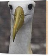 Waved Albatross Portrait Wood Print