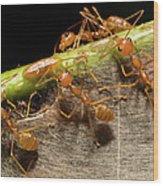 Weaver Ant Oecophylla Longinoda Group Wood Print