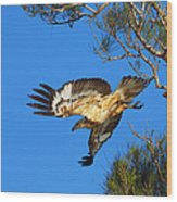 Wedge-tailed Eagle Wood Print