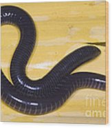 West African Caecilian Wood Print