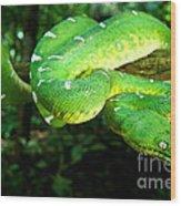 West Amazonian Emerald Tree Boa Wood Print