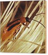 Western Corn Rootworm Beetle Wood Print