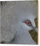 Western Crowned-pigeon Goura Cristata Wood Print