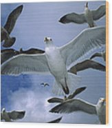 Western Gull Larus Occidentalis Flock Wood Print by Michael Durham/ Minden Pictures