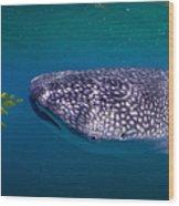Whale Shark Feeding On Fish, La Paz Wood Print